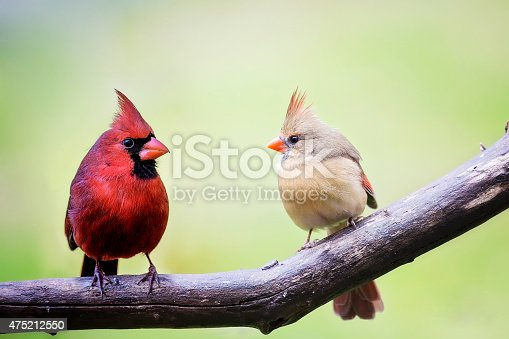Two cardinal love birds perched on a tree limb, both the male and the female in the springtime.