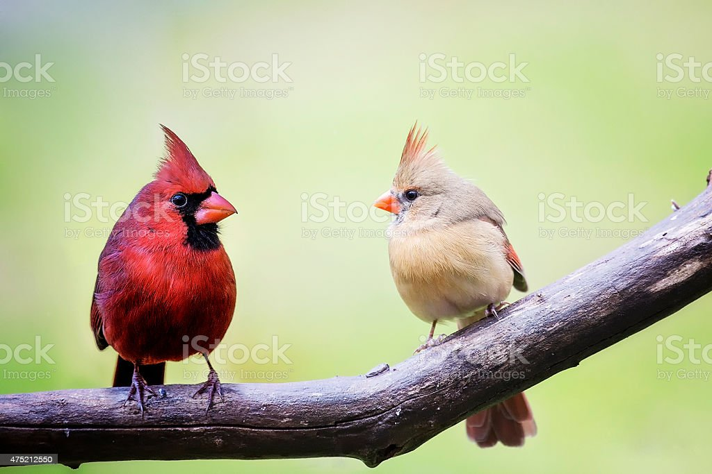 Male and female cardinal birds stock photo
