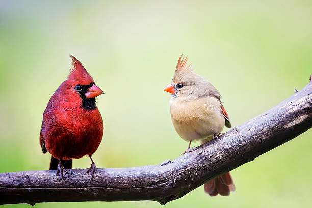 Male and female cardinal birds Two cardinal love birds perched on a tree limb, both the male and the female in the springtime. female animal stock pictures, royalty-free photos & images