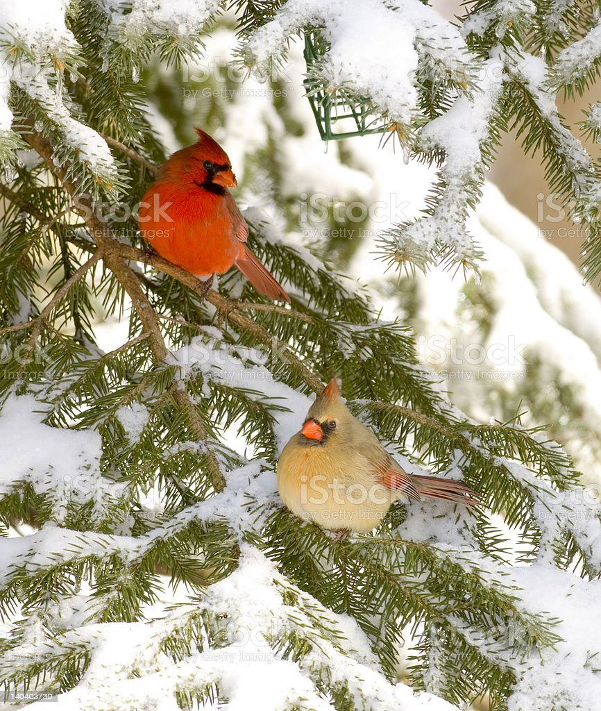 Male and female cardinal in evergreen (birdfeeder visible) royalty-free stock photo