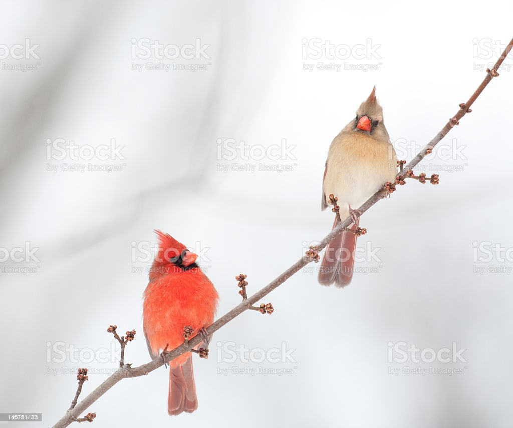 male and female cardinal stock photo