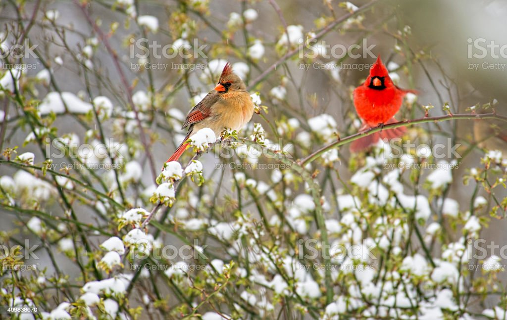 Male and female Cardinals perched on a snowy bush. stock photo