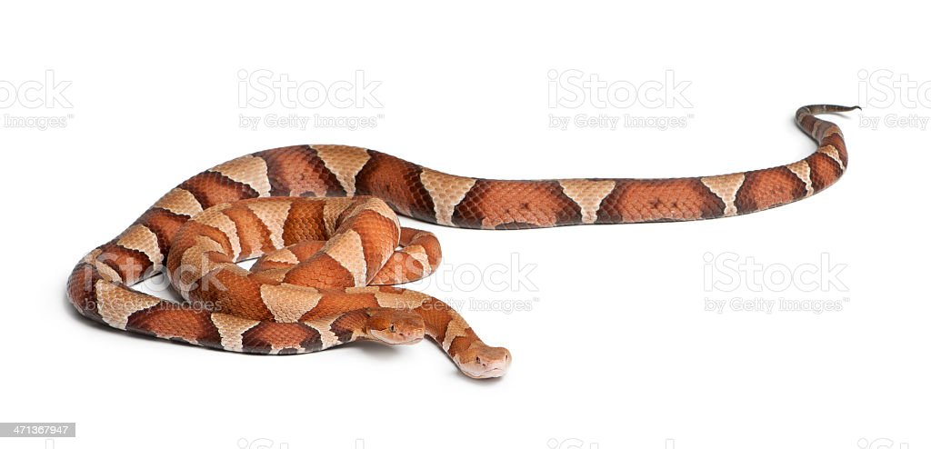 male and female Copperhead snake - Agkistrodon contortrix, poisonous stock photo