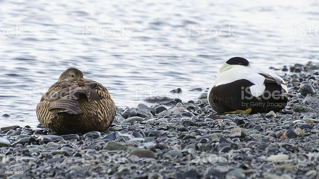 Male and female eider duck at Jokulsarlon ice lagoon stock photo