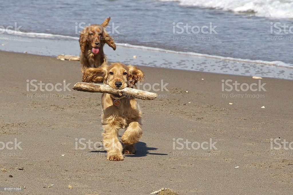 Male and female english cocker spaniel running stock photo