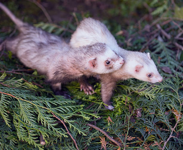 Male and female ferrets in love stock photo