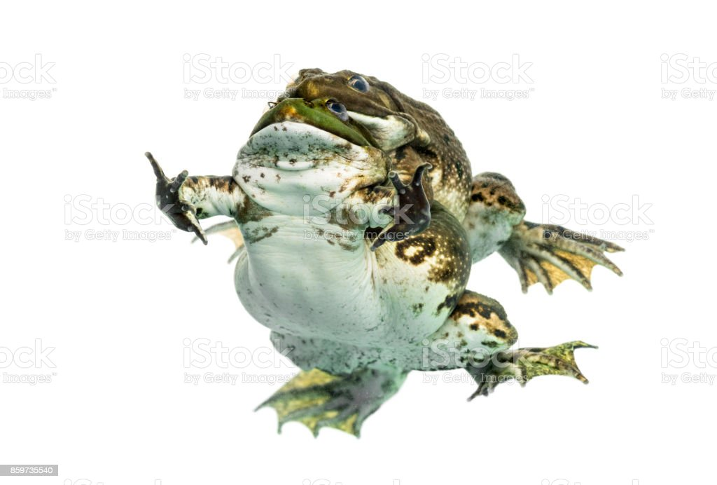 Male and female frog copulating, isolated on white stock photo