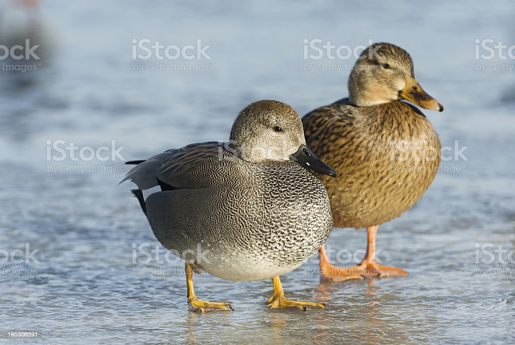 Male and Female Gadwall Ducks standing on ice stock photo