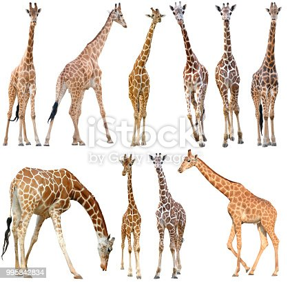 male and female giraffe isolated on white background