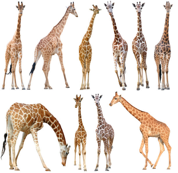 male and female giraffe isolated - giraffe stock photos and pictures