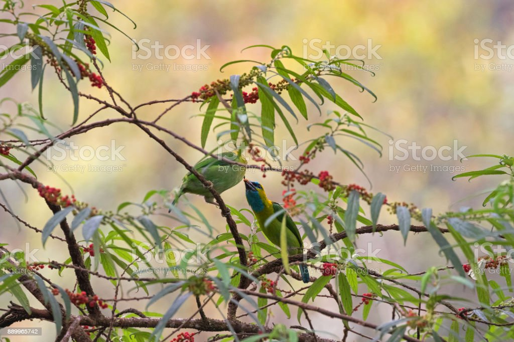 Male and female Golden-naped Barbet bird in green azure blue feeding...