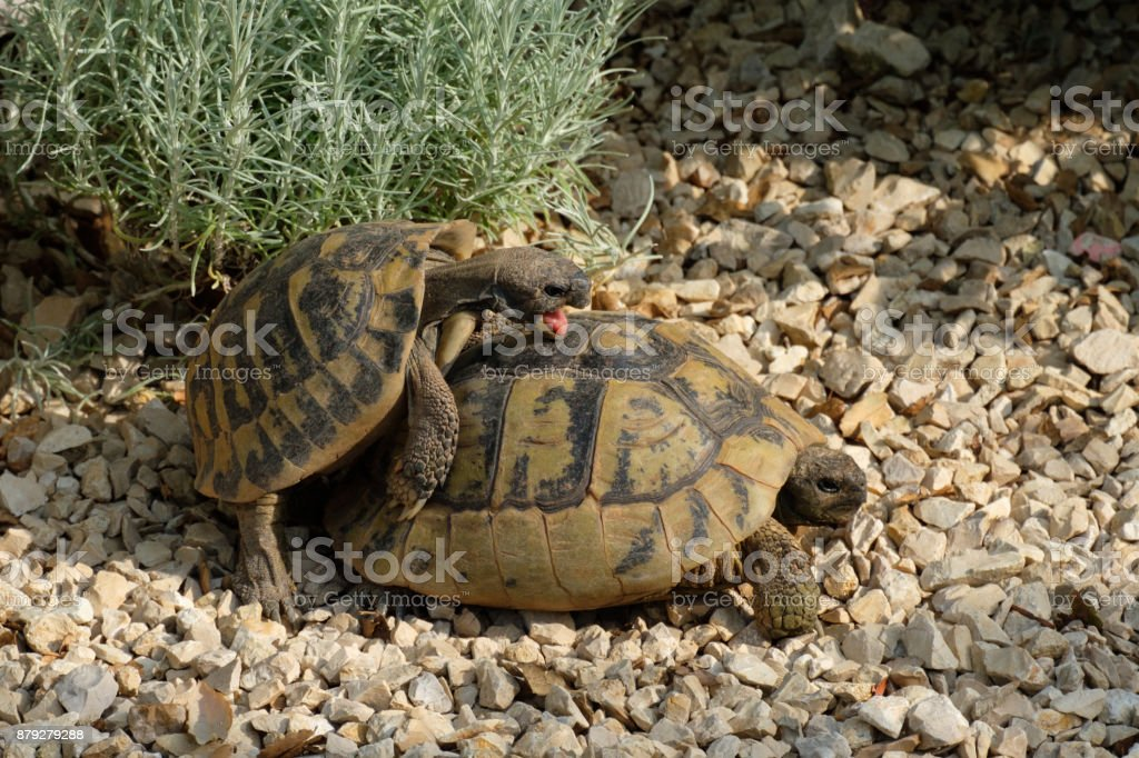 Male And Female Greek Tortoise Have Sexual Intercourse Stock Photo -6145