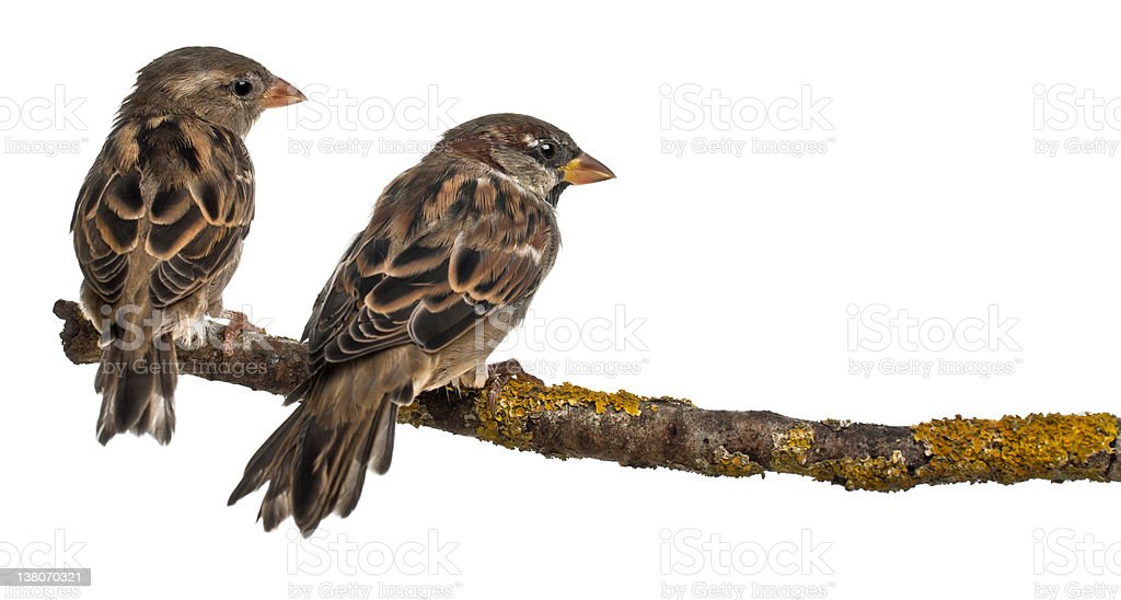 Male and Female House Sparrows, Passer domesticus, 4 months old stock photo