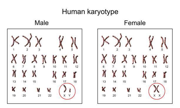 Male and female karyotype stock photo