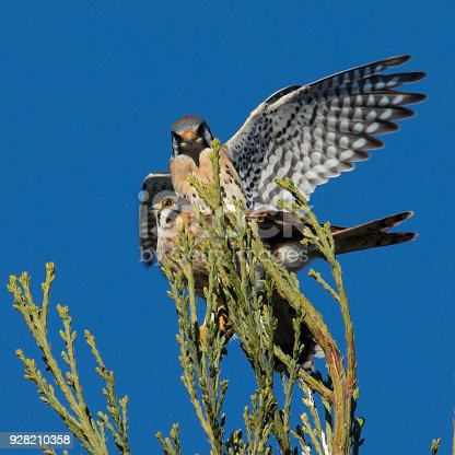 Male and female kestrel mating in the wild