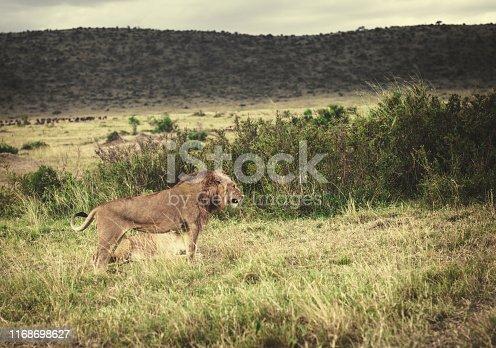 Male and female  Lion in the Masai Mara Kenia