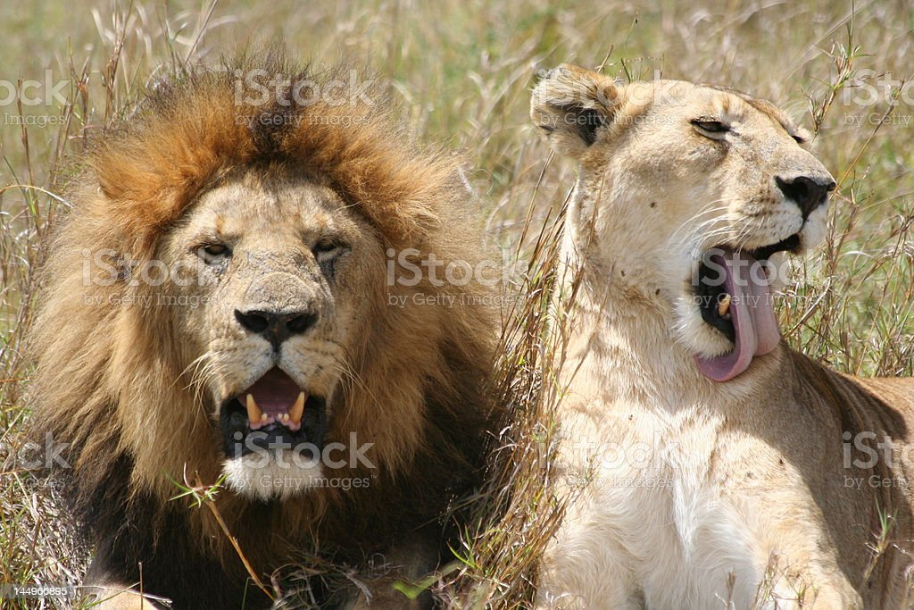Male And Female Lion Stock Photo - Download Image Now - iStock