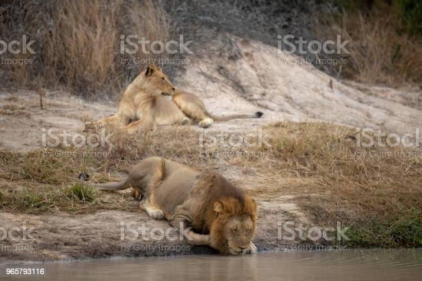 Mannelijke En Vrouwelijke Leeuw Stockfoto en meer beelden van Dier