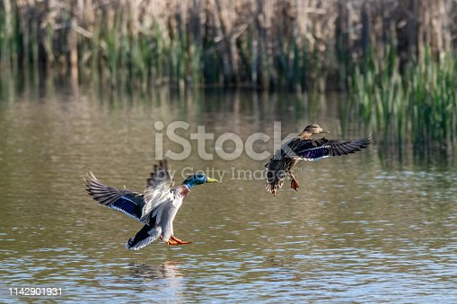 Male and female mallard duck coming into land on lake water