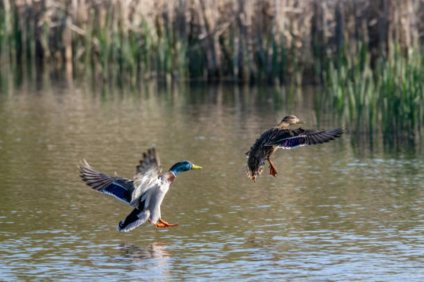 Male and female mallard duck coming into land on lake water Male and female mallard duck coming into land on lake water drake male duck stock pictures, royalty-free photos & images