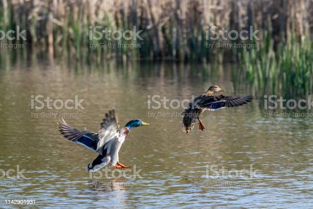 Photo of Male and female mallard duck coming into land on lake water