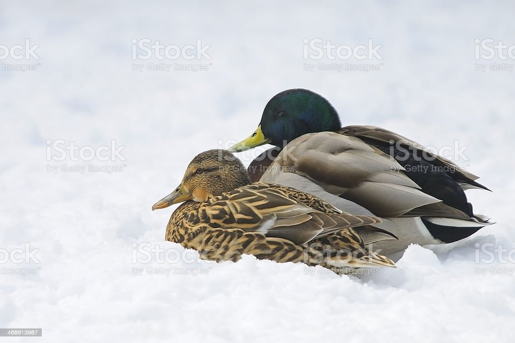 Male and Female Mallard Duck Pair stock photo