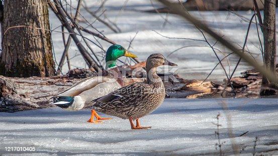 Deux canards colverts, mâle et femelle se promènent sur la neige au Québec.