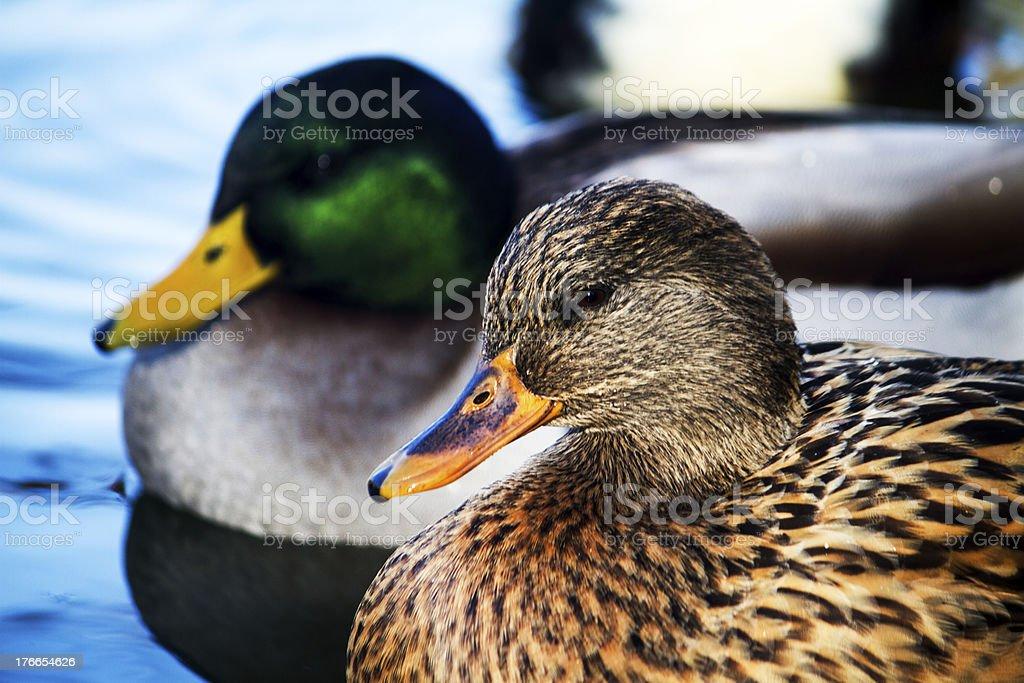 Macho y hembra mallard ducks foto de stock libre de derechos