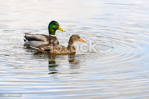 istock A male and female Mallard swimming on a lake together 1087008650