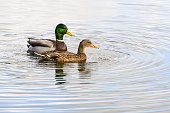 A male and female Mallard swimming on a lake together
