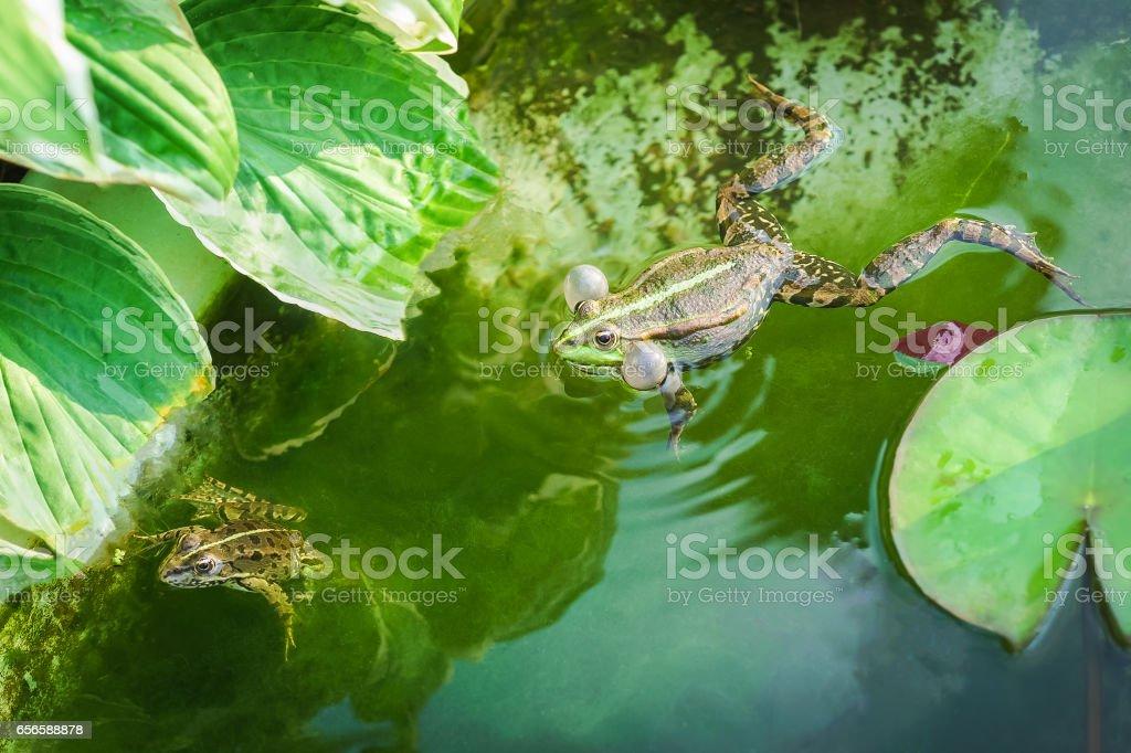 Male and female marsh frog (Pelophylax ridibundus) stock photo