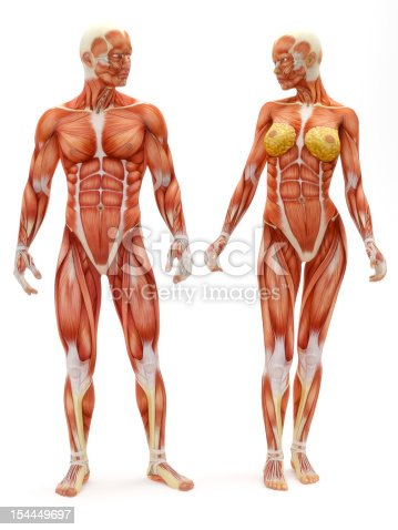 istock Male and Female musculoskeletal system 154449697