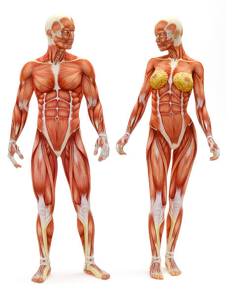 Male and Female musculoskeletal system stock photo
