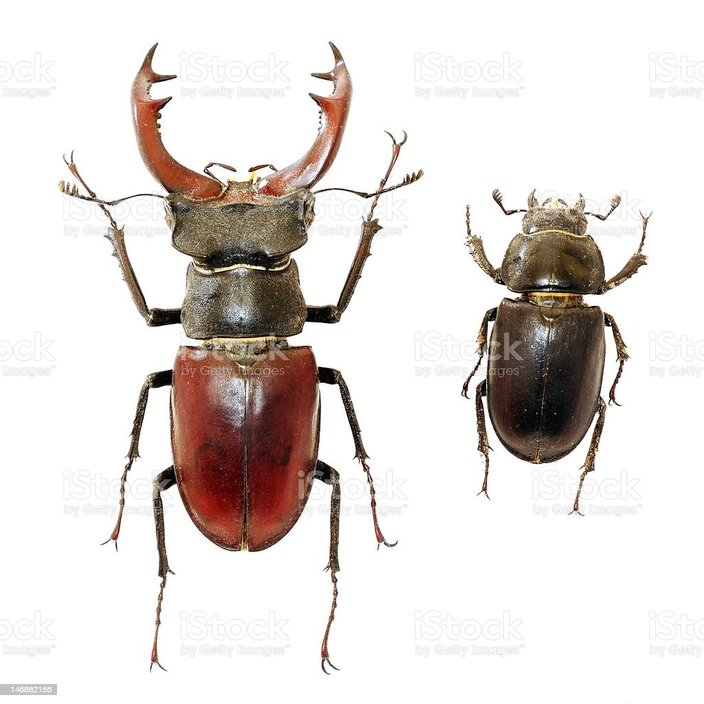 Male and female of stag-beetle royalty-free stock photo