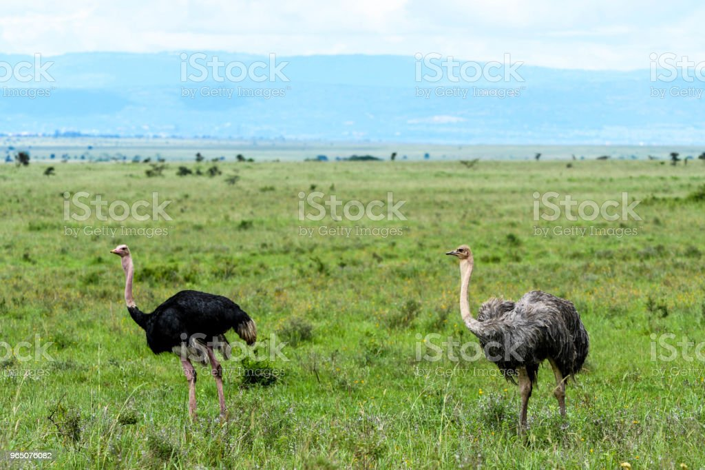 Male and Female Ostrich royalty-free stock photo