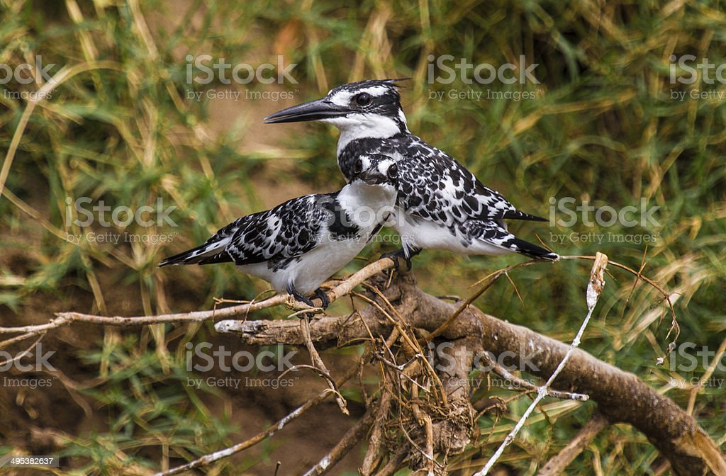 Male and Female Pied Kingfisher stock photo