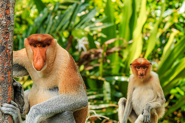 Male and female Proboscis Monkeys in the mangroves Male and female Proboscis Monkeys in the mangrove area of rainforest.  Palm oil plantation and logging severe threaten the habitat of these rare monkeys island of borneo stock pictures, royalty-free photos & images
