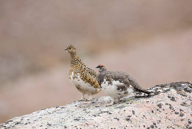 Male And Female Ptarmigan stock photo