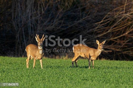 Male and female roe deer standing on a cereal field in front of a forest.