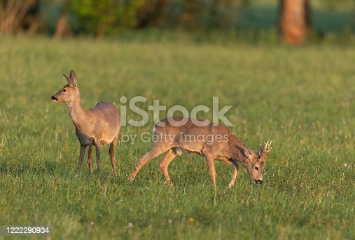 Strong roebuck and doe grazing on a meadow.