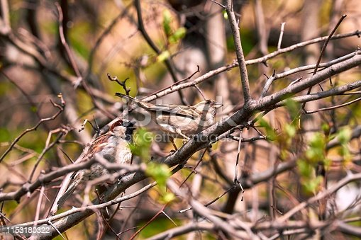 521620252istockphoto Male and female sparrows make kids on sunny green tree branch in spring in Moscow 1153180322