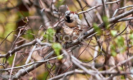 521620252 istock photo Male and female sparrows make kids on sunny green tree branch in spring 1152977408