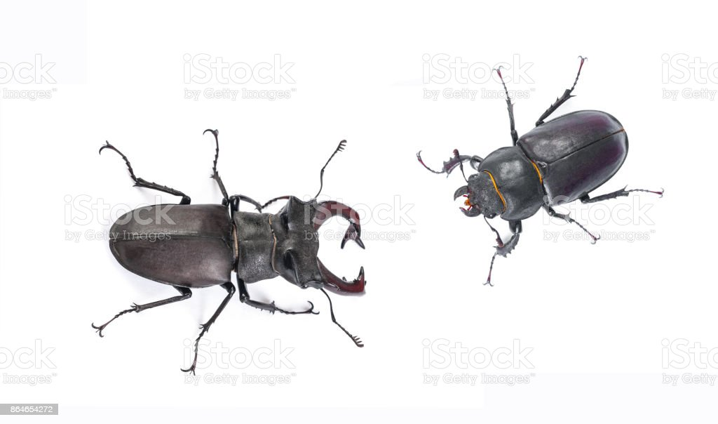 Male and female stag beetle, Close-up view isolated on white background, Hi resolution studio photography stock photo