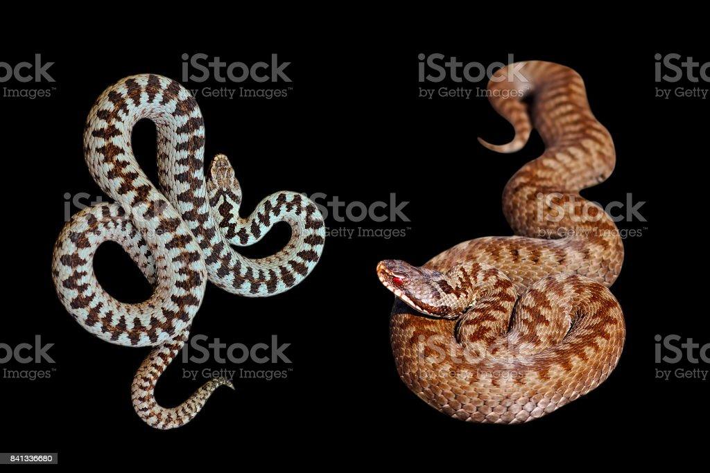 male and female Vipera berus on black background stock photo
