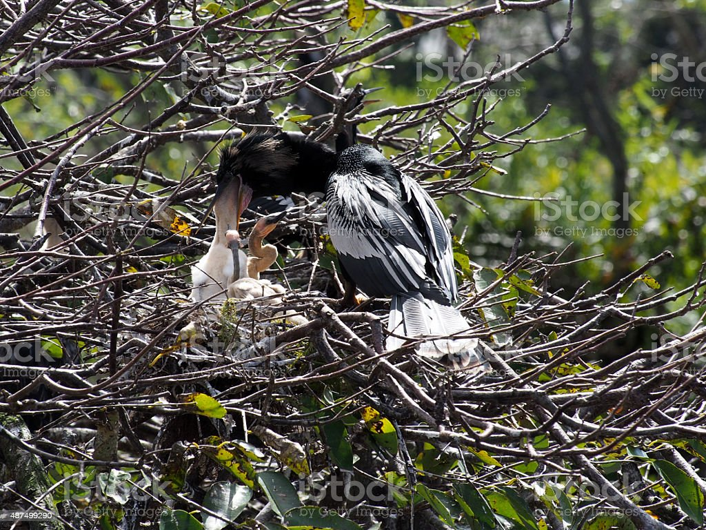 Male Anhinga Feeding Young stock photo