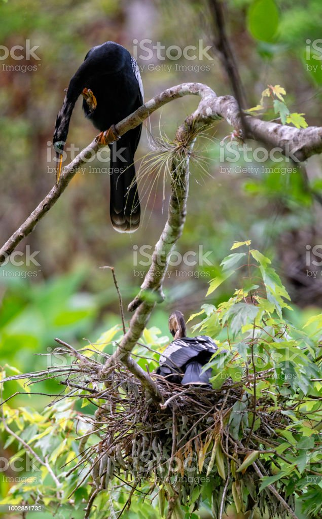 Male Anhinga looks down while a female Anhinga sits on her nest in the Everglades stock photo