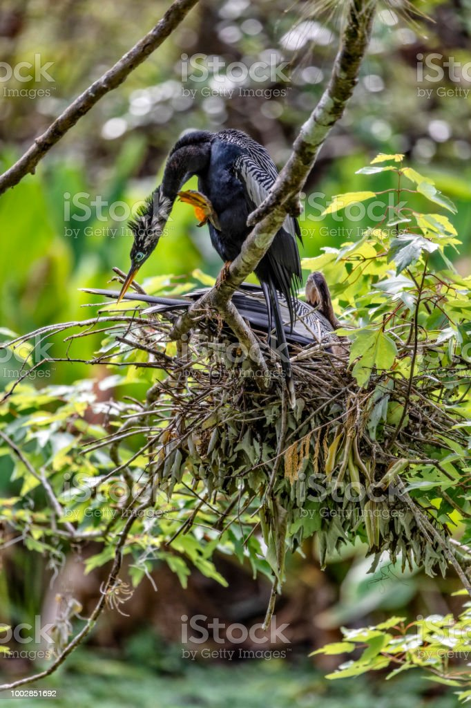 Male Anhinga scratches his neck while a female Anhinga sits on her nest in the Everglades stock photo