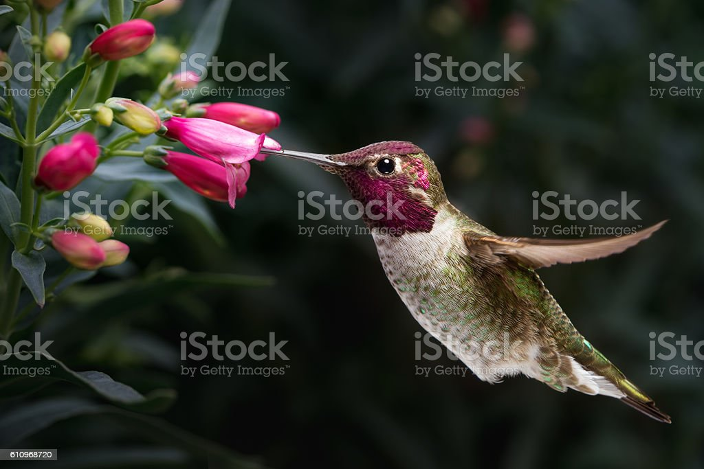 Male Anna's hummingbird visit flowers stock photo