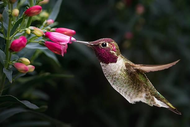 male anna's hummingbird visit flowers - bestuiving stockfoto's en -beelden