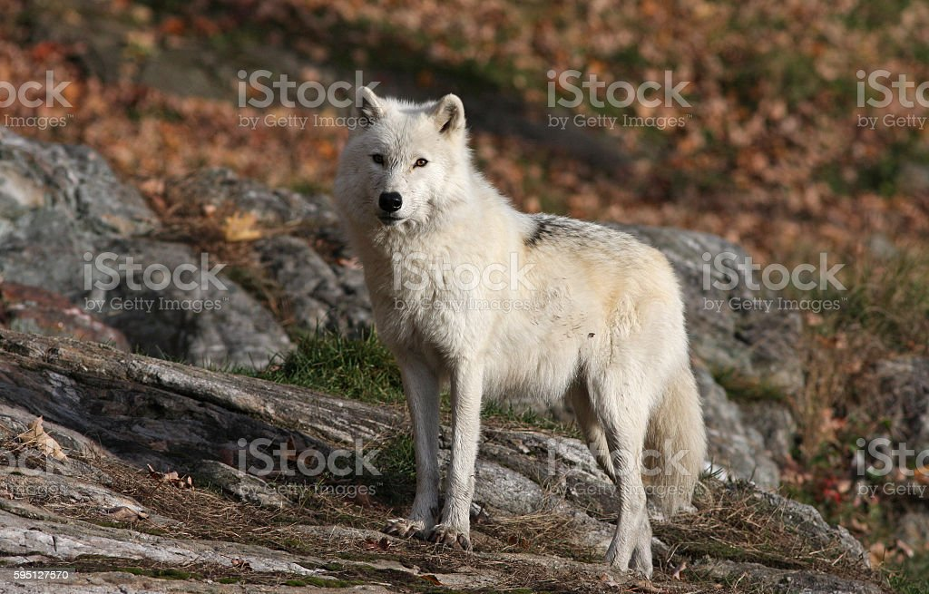 Male Arctic wolf stock photo